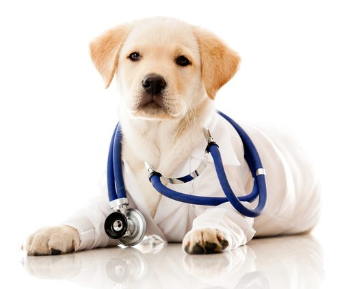 Yellow Lab puppy in white lab coat with stethocope around its neck.